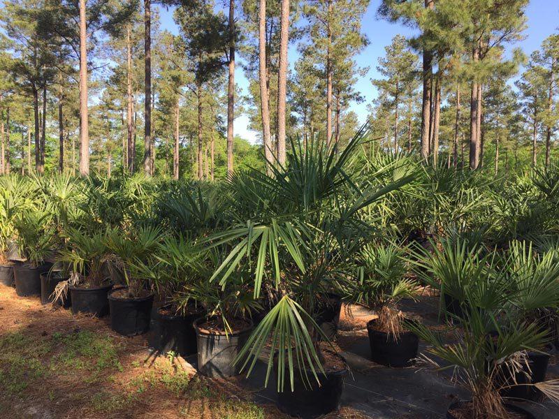 Elliott's Nursery | Kershaw, SC | plants for sale